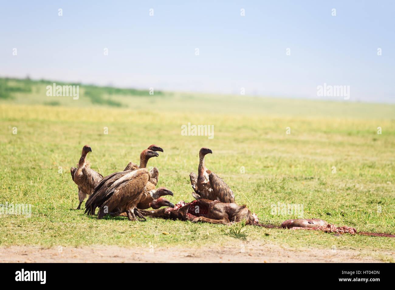 black hawk feeding instructions